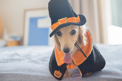 IMG_3261 (yukichinoko) Tags: dog halloween dachshund 犬 kinako ハロウィン ダックスフント ダックスフンド きなこ