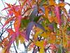 hojas, otoño (Buscando la luz) Tags: buena excelente hojasliquidambar parabenigno
