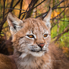 4 months old lynx cub (nemi1968) Tags: autumn portrait animal closeup cat canon nose cub eyes october ngc ears npc lynx gaupe langedrag 4monthsold markiii catfamily eurasianlynx lynxcub ef100400mmf4556lisusm specanimal lynxkitten canon5dmarkiii