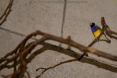 Goulds amadine - Chloebia gouldiae - Gouldian Finch (MrTDiddy) Tags: bird zoo finch antwerp antwerpen vogel zooantwerpen goulds gouldian vink amadine gouldiae chloebia