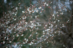 (kenta_sawada6469) Tags: park flowers trees winter plants white plant flower macro tree nature japan japanese ume japaneseapricot