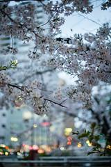 twilight hanami (Nazra Zahri) Tags: sunset urban nature japan night spring twilight nikon raw  sakura cherryblossoms streetscape hanami okayama 2016 50mmf14d d700