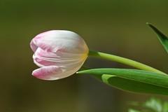 Tulip - Tulipe (Sbastien Vermande) Tags: winter france flower macro nature fleur bokeh hiver lot 1001nights macrolens macrophotography midipyrnes macrophotographie canon7d 1001nightsmagiccity vermande sigma150exdg