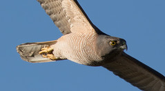 brown goshawk (Accipiter fasciatus)-0691 (rawshorty) Tags: birds australia canberra act rawshorty