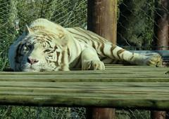 246-March'16 (Silvia Inacio) Tags: portugal zoo feline lisboa lisbon tiger tigre whitetiger jardimzoologico tigrebranco