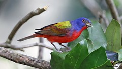 PAINTED BUNTING 3-11-16 617 (Mudhen2) Tags: blue red sunlight green beautiful grass island rainbow bush gorgeous awesome low small flight young seed ground belly hide photograph tiny danny eggs peep unreal bales awe sheen hang breathtaking suet merritt fledge