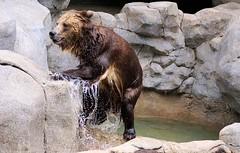 Where's My Bear Robe? (greekgal.esm) Tags: bear sandiego sony sandiegozoo grizzlybear sal70300g sdzglobal a77m2 a77mii