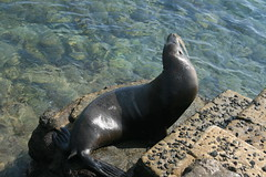 IMG_7651 (chupalo) Tags: sealions lavarocks islasplaza
