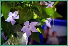 Bouquet printanier devant photo (bleumarie) Tags: lumire bleu vinca pervenche