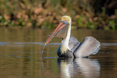 Fish Face (gseloff) Tags: bird texas feeding wildlife pasadena brownpelican baitfish kayakphotography gseloff horsepenbayou