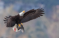 Bald Eagle (Peter Bangayan) Tags: nature canon washington wildlife eagles baldeagles juanitabaypark ef500mmf4lisusm