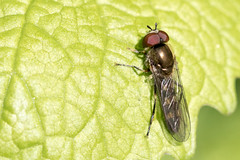 Platycheirus albimanus / Micaplatvoetje (peter.lindenburg) Tags: katwijk hoverfly syrphidae berkheide zweefvlieg platycheirusalbimanus micaplatvoetje