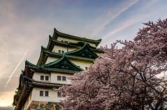 Cherry Blossom in Nagoya Castle (derek7464) Tags: sunset flower japan cherry blossom nagoya  cherryblossom  sakura aichi hdr  nagoyacastle    sigma1770mm nikond7000