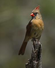 Mama cardinal (tevans9129) Tags: nikon tennessee cardnial tc17e 400f28 d800e