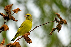 Verdier d'Europe (Phil du Valois) Tags: wild bird european wildlife free oiseau libre greenfinch sauvage faune comn comune europeangreenfinch europeo florya zvonek verdier verdilho grnfink groenling grnling dzwoniec grnirisk verdone verdern zelen verdierdeurope passereau grnnfink grnfink zldike zwyczajny grnfink