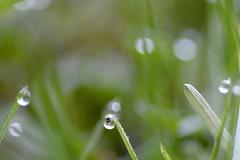 Morning dew on a grassland : A macro (biswarupsarkar72) Tags: macro dewdrops morningdew