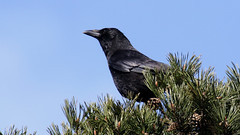 Carrion Crow - Corvus corone (jaytee27) Tags: naturethroughthelens carioncrowcorvuscorone