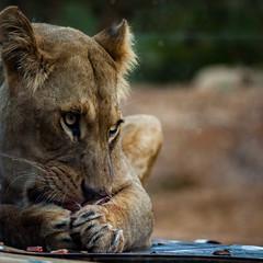 cathyb-20160428-IMG_8970.jpg (madelinefluffbum) Tags: animal zoo eating oz australia melbourne victoria meat lions vic downunder lunching werribeezoo plainkeywords