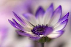 Spring Time (Daisyd80) Tags: flower macro spring outdoor dreaming softfocus spanishdaisy platinumheartaward lensbabyvelvet
