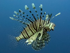 Koraalduivel - Lionfish - Pterois volitans (By Yves) Tags: red sea egypt hurghada
