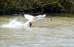 Swan in Flight (Karley Foy Photography) Tags: bird water animal photography flying swan shot action wildlife documentary explore flickrexplore