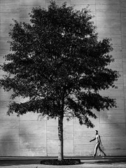 Man and Tree - Jones Hall for Performing Arts (Mabry Campbell) Tags: street blackandwhite usa building tree wall walking person photography photo downtown december texas photographer image fav50 unitedstatesofamerica houston fav20 hasselblad photograph 100 fav30 fineartphotography f63 80mm 2015 stockimage commercialphotography fav10 fav100 fav40 fav60 fav90 fav80 fav70 hc80 sec mabrycampbell h5d50c houstonstock harrisconty december182015 20151218campbellb0000083