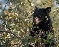 Black Bear Cub (T0nyJ0yce) Tags: bear wild baby cute nature animals cub berries eating wildlife adorable blackbear babyanimals specanimal tamron150600
