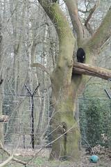 Malaienbrin Linh im Ouwehands Dierenpark Rhenen (Ulli J.) Tags: netherlands zoo utrecht nederland paysbas rhenen niederlande ouwehandsdierenpark sunbear maleisebeer honingbeer malaienbr nederlandene oursdescocotiers malajbjrn