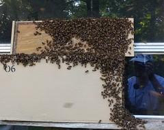 Swarm selfie (alansurfin) Tags: abejas reflection window backyard bees beehive abeilles beekeeping bienen honeybees beekeeper