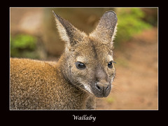 Wallaby at Lagos Zoo (cconnor124) Tags: animals naturalbeauty canoneos marsupials zoos naturephotography wallabies beautifulnature furryanimals awesomenature beautyofnature lagoszoo shieldofexcellence canon100400lens canon760d