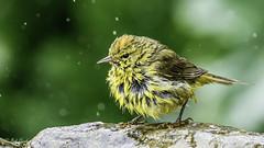 Orange-crowned Warbler (Bob Gunderson) Tags: sanfrancisco california birds northerncalifornia fortmason warblers orangecrownedwarbler woodwarblers canoneos7dmarkii oreothlypiscelata