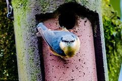 Nuthatch (sitta europaea) (phat5toe) Tags: nature birds nikon wildlife feathers nuthatch penningtonflash avian sittaeuropaea wigan greenheart d7000 sigma150500