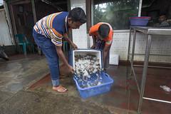 Farmers Selling tiger shrimp at a depot in Khulna. Photo by Yousuf Tushar (WorldFish) Tags: shrimp bangladesh nutrition aquaculture fishfarming foodsecurity