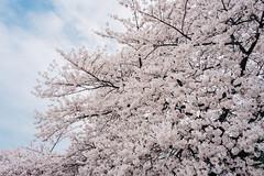 | Hanami () Tags: japan tokyo cherryblossom  sakura   hanami shinjukugyoen   sonyrx1
