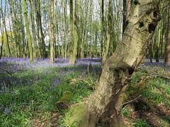 IMG_0212 (Joy Shakespeare) Tags: uk coventry woodlandtrust allesley elkinwood