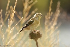 Dreamer (flipkeat) Tags: bird outdoors pretty different wildlife goldfinch awesome watching birding american