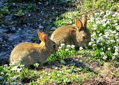 Baby Wild Rabbits (Pam P Photos) Tags: rabbit wildrabbits