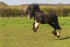 Happy Harry (Kev Gregory (General)) Tags: horse fun happy jump play harry gregory kev charge gallop