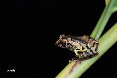 Anil's Bush Frog / Raorchestes anili (harshithjv) Tags: canon amphibian frog karnataka tamron 90mm coorg westernghats kodagu anura amphibia 600d anili rhacophoridae raorchestes