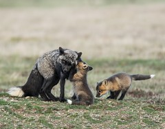 Hey Mom, Can I Tell You a Secret? (T0nyJ0yce) Tags: family baby cute animals wildlife siblings fox kit foxes silverfox redfox specanimal