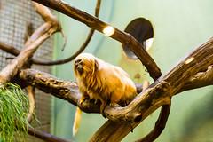20160113-104348_WashingtonDC_D7100_1140.jpg (Foster's Lightroom) Tags: washingtondc smithsonian us washington districtofcolumbia unitedstates northamerica museums zoos primates goldenliontamarin tamarins smithsoniannationalzoologicalpark us20152016
