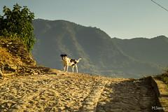 La Vaca (sierramarcos14695) Tags: travel viaje blanco luz atardecer camino natural guatemala negro perro vaca montaas empedrado aldea huehuetenango explorando canoguitas