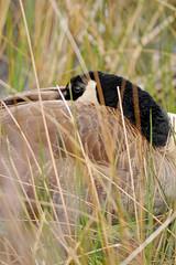 Nesting Canada Goose (Adam Turow) Tags: bird vertical spring nest great nj goose swamp marsh waterfowl behavior canadagoose wetland nesting nationalwildliferefuge nwr canadagoosenesting