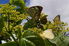 011 borboletas  - os insetos so animais invertebrados o grupo com a maior diversidade entre  todos os animais planeta, so cerca de 950 mil espcie no mundo conhecida e catalogada, das quais mais de 109 mil so encontrada no Brasil. (agnaldo.severo) Tags: verde folhas azul cu nuvem borboletas