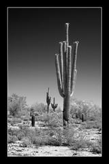 Cactus Trio (Rickcah) Tags: cactus blackandwhite bw phoenix blackwhite fuji whitetank xe1 rickcah