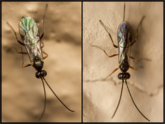 His and hers! HWW! (The Mad Macrographer) Tags: uk macro male female garden outdoors wings ichneumon peterborough extensiontubes parasiticwasp hww canon7d canon60mmmacrousm wingwednesday nikkvalentine