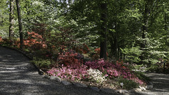 A Turn in the Path (Lawrence OP) Tags: washingtondc azaleas arboretum national