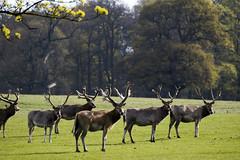 Deer Herd @ Woburn park (magicpicture.co.uk) Tags: horse wildlife deer nikond40 woburnpark nikond5200 dilpreetsohanpal wwwmagicpicturecouk