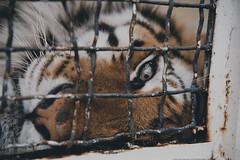 Captivity (valerio magini photographer) Tags: animal nose grid eyes head tiger cage alpha predator lying captivity