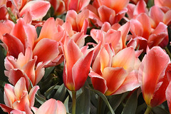 Tulips with long flower leaves at Lisse, May 1, 2016 (cklx) Tags: red holland yellow spring tulips may tulip april brightcolors tulpen noordwijkerhout tulp lisse 2016 bollenstreek hillegom wassergeest